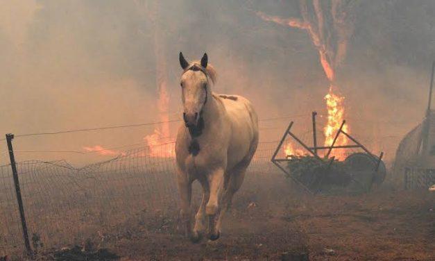 ARRASAN INCENDIOS CON ESPECIES ANIMALES DE AUSTRALIA